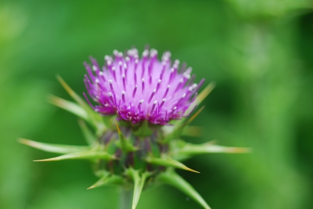 pink milk thistle flower in bloom in spring