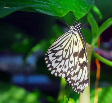 black white paper kite Idea leuconoe Butterfly insect Stock Photo