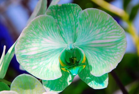 Phalaenopsis Green white orchid flower in bloom in spring Stock Photo - 22161990