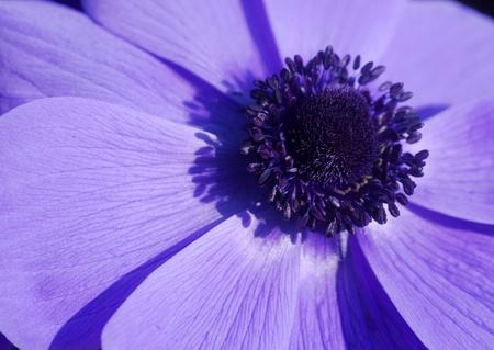 anemone flower: Blu Anemone fiore in fiore in primavera