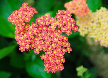 yarrow: pink yellow Yarrow Achillea flower in bloom in early spring