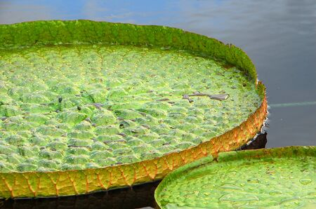 lilypad: green disc shape water lily leaves in water