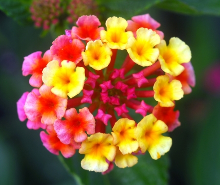 umbel: red yellow lantana flower umbel cluster in bloom
