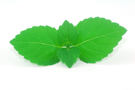 tulsi: tender young leaves of fresh green holy basil tulsi Ocimum tenuiflorum herb for flavor