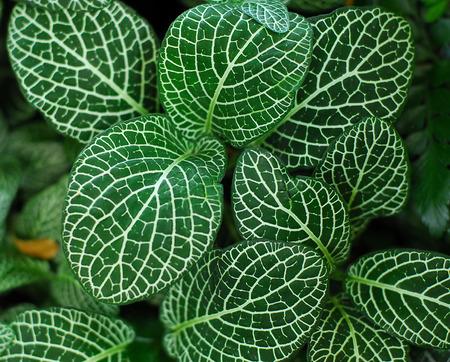 Donkergroene bladeren van Fittonia Acanthaceae ook wel Nerve Plant of mozaïek fabriek