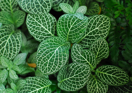Dark Green Leaves of Fittonia Acanthaceae ook wel Nerve Plant of mozaïek fabriek Stockfoto - 32509194