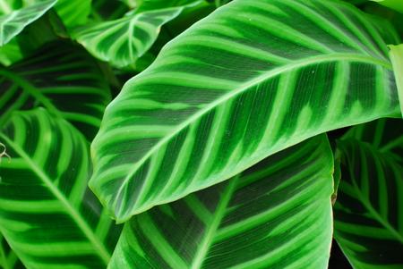 Dark Green Leaves of indoor Plant having pattern 版權商用圖片