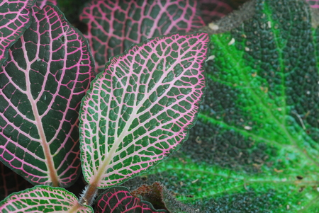 Dark Green Leaves of Fittonia Acanthaceae also called Nerve Plant or mosaic plant