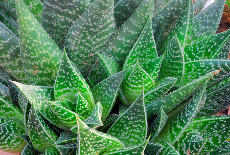 Green white spotted aloe Succulent Plant closeup