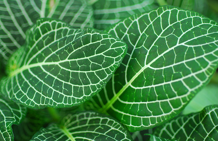Donkergroene bladeren van Fittonia Acanthaceae ook wel Nerve Plant of mozaïek fabriek Stockfoto - 34863711