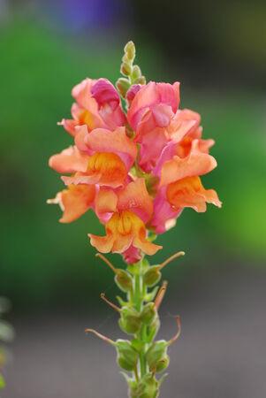 antirrhinum majus: Pink orange Antirrhinum majus dragon flower in bloom in spring