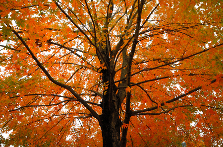 Orange Yellow Fall Foliage colors of Maple tree in Autumn Reklamní fotografie
