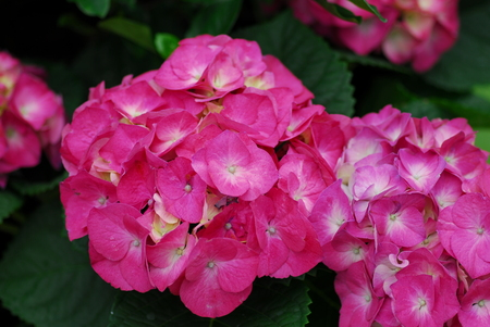 Pink Hydrangea Hortensia flower in bloom in spring
