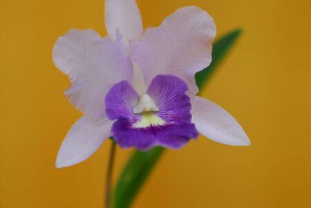 purple white orchid flower in bloom in spring Reklamní fotografie
