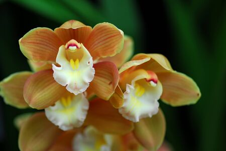orchid: white brown cymbidium Orchid flower in bloom in spring