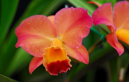 cattleya: pink yellow cattleya orchid flower in bloom in spring Stock Photo