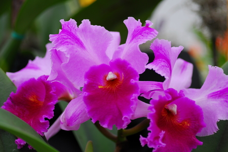 cattleya orchid: pink yellow cattleya orchid flower in bloom in spring Stock Photo