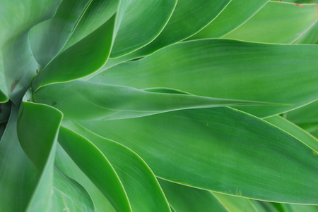 green aloe succulent plant with thick fleshy leaves Stok Fotoğraf