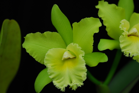 Green Cattleya orchid flower in bloom in spring