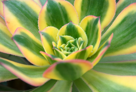 green yellow Aeonium Sunburst succulent plant leaf closeup showing symmetry pattern