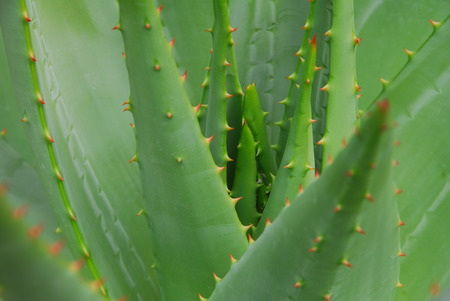 green aloe vera Succulent Plant with red thorns
