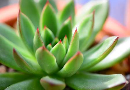 Echeveria Succulent Plant in bright green and brown color Stok Fotoğraf