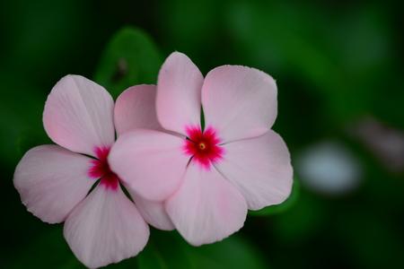 pink vinca periwinkle flower in bloom in spring