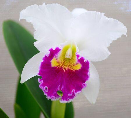 cattleya white yellow magenta orchid flower in bloom in spring