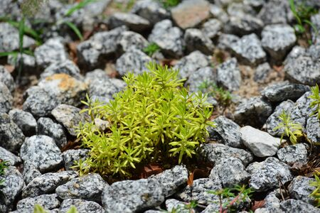 sedum succulent plant with green needle like fleshy leaves Stok Fotoğraf