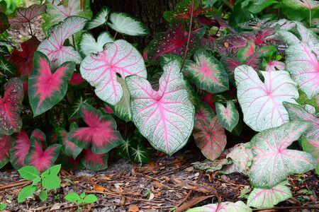 Dark pink green Leaves of alocasia indoor plant 版權商用圖片