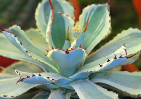 Green white succulent plant with red sharp thorns