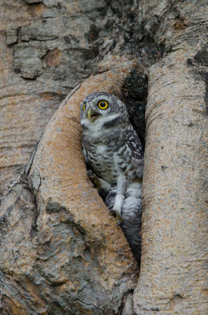 a large bird of prey: Spotted Owlet Stock Photo