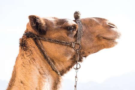 sinai peninsula: Camel Mount Sinai,  Egypt