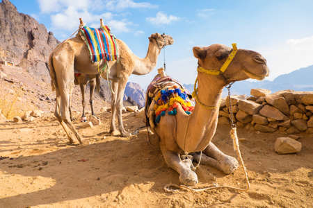 monte sinai: Camel Monte Sina�, Egipto