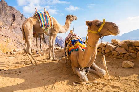 mount sinai: Camel Mount Sinai, Egitto