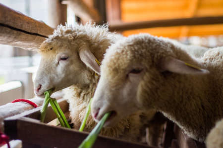 ratchaburi: sheep in farm at Ratchaburi, Thailand Stock Photo