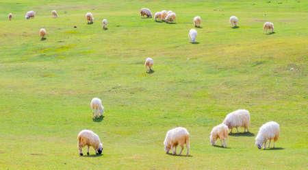 bosnia and hercegovina: Herd of sheep on beautiful mountain meadow