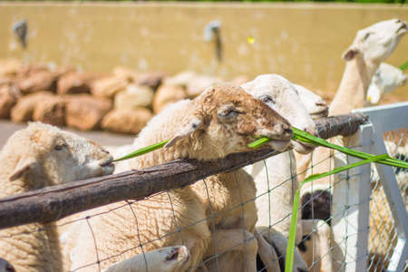 ratchaburi: sheep in farm at Ratchaburi, Thailand Stock Photo