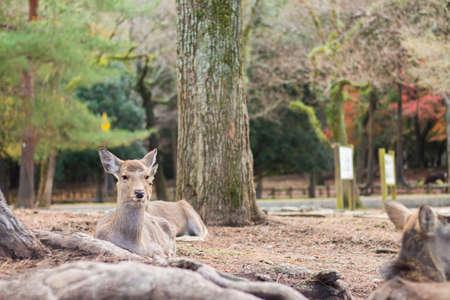 nara park: Deer in Nara Park, Japan