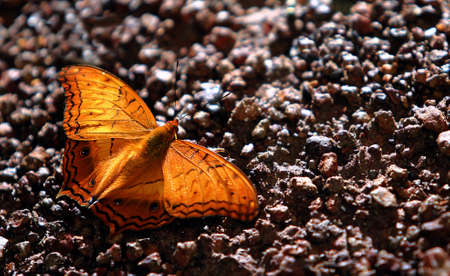 thialand: Butterfly thialand