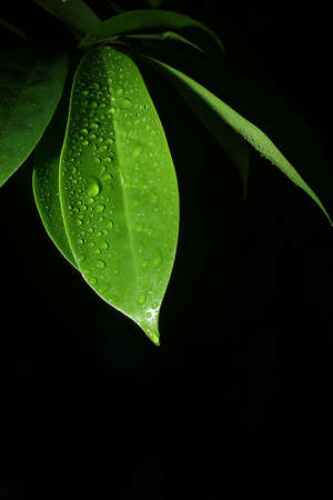 leaf with drop