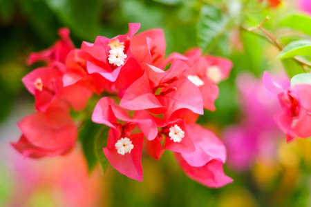 The beautiful Bougainvillea Flowers blooming in the garden for background or texture. Stock Photo