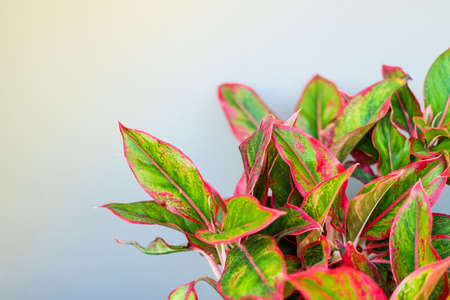 Beautiful Aglaonema (genus of flowering plants in the arum family) for nature background or texture, space for your content.