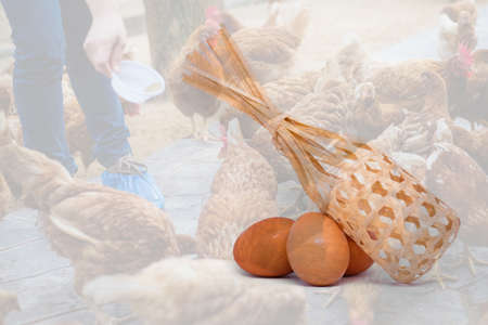 Many Egg with basket isolated on farmer holding animal feed for many chicken (hen) background - chicken farm business concept.