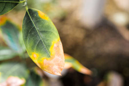 Leaf infectious (Disease) in bad environment for background or texture - nature concept.
