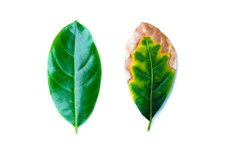 Leaf infectious (leaves disease) with green leaves in bad environment isolated on white background - nature concept. Stock Photo