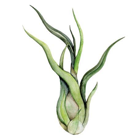 Print summer exotic jungle plant tropical. Air-plant illustration on white background. Watercolor tillandsia green botanic plant. Stok Fotoğraf
