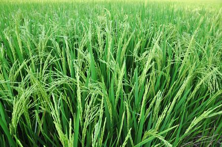 ablooming: A green rice paddy waiting for harvesting