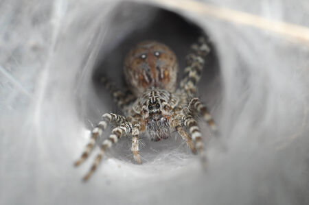 Funnel Web Spider out on his funnel web photo