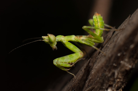 mantid: Mantis lives on grass in Asia Thailand Stock Photo
